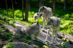 Worthington Murphy - wallpaper images wolf - 2700x1775 px