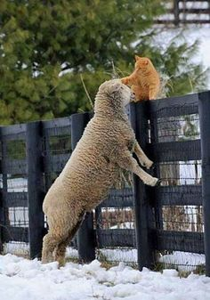 Unlikely Friends ➖➖➖➖➖➖➖➖➖ Cat ➖➖➖➖➖➖➖➖➖ Sheep Farm Animals, Animals And Pets, Funny Animals, Cute Animals, Wild Animals, I Love Cats, Crazy Cats, Cute Cats, Unlikely Friends
