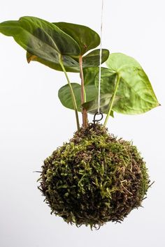 Moss Ball with leafs of anthurium
