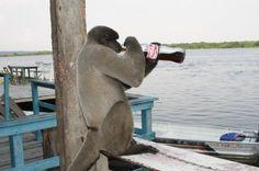 No Amazonas é assim: 'Mico', por Arlesson Sicsú.