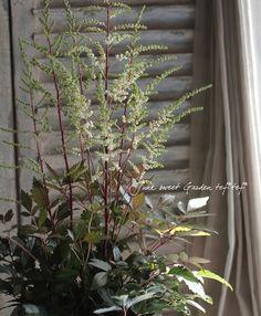 <B>Astilbe thunbergiiアスチルベ『カプチーノ』</B>国内ではほぼ流通していない希少品種です。珍しいダークグリーン~ブラウン色の葉色で、トリ...
