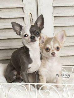 Ahh Chihuahuas! !