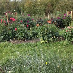 dahlia beds in september at common farm flowers in somerset