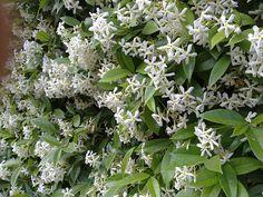 Jasmine Flowers - Google Search
