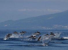 Pico Azoren Walvissen en zwemmen met dolfijnen