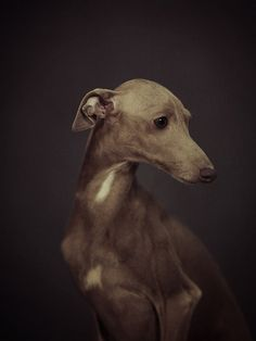 Belgian photographer Vincent Lagrange takes expressive portraits of pets and wild animals for his Human Animal project. Italian Greyhound, Beautiful Dogs, Animals Beautiful, Pet Dogs, Dogs And Puppies, Corgi Puppies, Weiner Dogs, Animals And Pets, Cute Animals