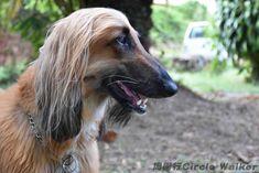 Brisbane, Australia 澳洲, 布里斯本 . More on: https://www.circlewalker.me/dog  . #周圍行 #CircleWalker #攝影 #photography #photo #foto #art #藝術 #CS6 #photoshop #camera #nikon #動物 #animal #wildlife #creature #自然 #nature #dog #dogs #doggy #狗 #犬 #澳洲 #australia #Brisbane #布里斯本 #poodle #獅子狗 #貴賓犬