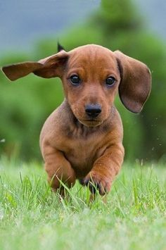 Dachshund heaven-ly-mind:  *** by Gintarė P. on 500px