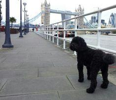 Moos does London 20151014 Australian Labradoodle, London, Dogs, Animals, Animales, Animaux, Doggies, Animal, Animais