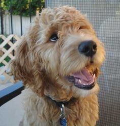 goldendoodle grooming styles - Google Search