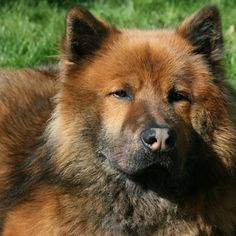 Eurasier I need a pack of these