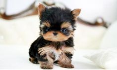Yorkies are super cute puppies. Check out very cute pictures of baby yorkshire terriers, plus a little history of the Yorkie breed. Tiny Puppies, Cute Dogs And Puppies, Adorable Puppies, Tiny Dog, Small Dogs, Tiny Tiny, Miniature Puppies, Kittens And Puppies, Cute Little Animals