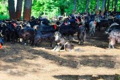 Alla scoperta del cane Pastore della Sila (Al centro della foto un esemplare di Pastore della Sila al lavoro su un gregge di capre)