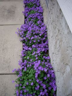 Front Yard Landscaping Purple Flowering Groundcover - Campanula Portenschlagiana - a plant that grows in less-than-ideal conditions and has long-lasting foliage. Plant care info is on the post - via Northern Shade by michellecakesandmore Outdoor Plants, Outdoor Gardens, Small Flower Gardens, Driveway Landscaping, Landscaping Ideas, Driveway Design, Backyard Ideas, Walkway, Small Gardens