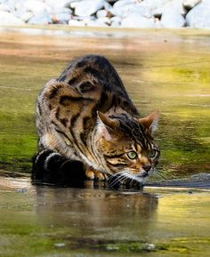 Young Brown Spotted Bengal Cat Attempting use its Hunting Instinctive Skills.