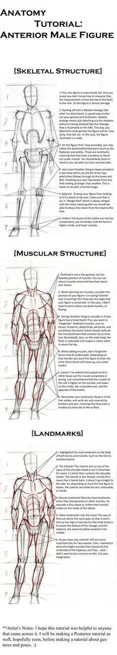 Anatomy Tutorial: Anterior. by Life-Symphony.deviantart.com on @DeviantArt
