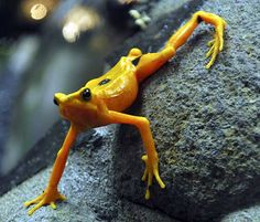 Not a frog, The Panamanian Golden Frog, is a critically endangered toad, weighing about 3g and measuring about 35mm. It communicates by waving its limbs in a form of semaphore as well as vocalizations and secretes a water soluble neurotoxin, zetekitoxin. via    http://en.wikipedia.org/wiki/Panamanian_golden_frog #Golden_Frog