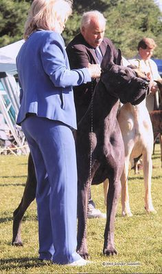 Tommy, a Blue Great Dane from SHARCON GREAT DANES, South Park, Pennsylvania