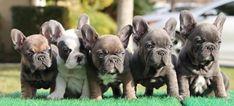 • #Bulldogfrancese #frenchie #frenchieoftheday #französischebulldogge #icucciolidicarlottaofficial #frenchbull #icucciolidicarlotta #frenchbulldog French Bulldog Puppies, Dogs, Animals, French Bulldog Pups, Animales, Animaux, Pet Dogs, Doggies, Animal