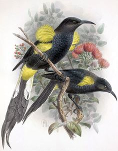 "Hawaii O'o Beautiful birds that went extinct in 1934(Source: ""Caloprymnus"" by John Gould)"