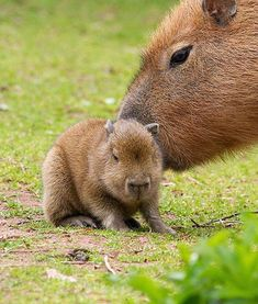 Acapybara nuzzles her baby at the Paignton Zoo in Devon, U.K. Capybaras are the world's largest rodent.