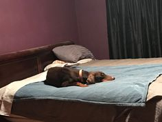 My sweet red dobie lincoln - loves momma's side of the bed ❤️❤️