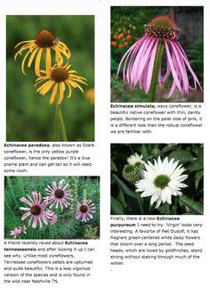 New Echinaceas @ The Captured Garden Foundation Planting, White Swan, Greek Words, Sea Urchin, Growing Flowers, Raised Garden Beds, Bee Keeping, Habitats, Perennials