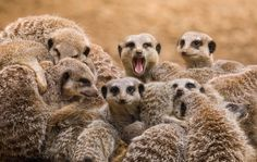 group of meerkats, one with its mouth open