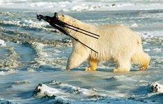 Haha! Polar bear 1 - photographer 0.