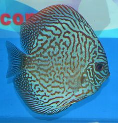 TIGER TURQUOISE Discus Fish, Angelfish, Reef Aquarium, Beautiful Fish, Cichlids, Freshwater Fish, Aquariums, Sea Creatures, Turquoise