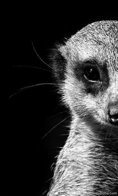 Black and white meerkat portrait by Diana Barocsi on 500px