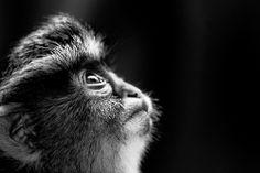 Primate prayers by Alan Shapiro Photography Photos, Animal Photography, See True, Cultural Beliefs, Black Image, Primates, True Beauty, Monochrome, Monkey