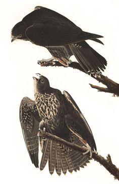 Labrador Falcon | John James Audubon's Birds of America