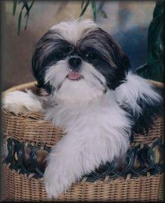 shih tzu | Past Puppy