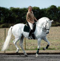 Pure Spanish Horse stallion Zagal XI