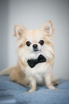 This lil' guy looks oh-so-cute in his bowtie collar: http://www.stylemepretty.com/2015/05/13/elegant-summer-wedding-at-overbrook-country-club/ | Photography: MKPhotography - mkphoto.com
