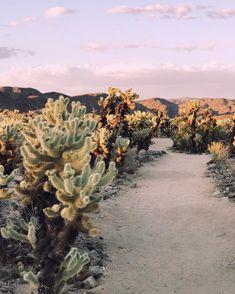 Cholla Cactus Garden | Joshua Tree