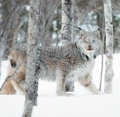 November Jeff Jett posted images on LinkedIn Nature Animals, Animals And Pets, Cute Animals, Wild Animals, Baby Animals, Dog Pictures, Animal Pictures, Riding Mountain National Park, Cat Reference