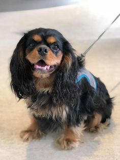 King Charles Spaniel, Cavalier King Charles, Cottage, Australia, Puppies, Paint, Dogs, Cubs, Picture Wall