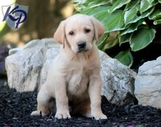Pouncey – Labrador Retriever – Yellow Puppy www.keystonepuppies.com  #keystonepuppies #yellowlab