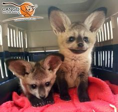 The Bat-eared Fox primarily eats insects.
