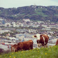 nochmal eine #kuh #latergram #linz #igerslinz #landwirtschaft #upperaustria #meat #foodporn #muuuh #cow #landleben #wanderlust #instacool #potd #countryside #lifestyle #wanderlust