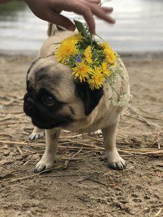 Pug and dandelion cute