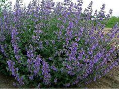 Котовник (Nepeta) часто используется в районах с холодным климатом как замена лаванде, поскольку отдаленно напоминает ее по форме и окраске соцветий. Котовник – неприхотливый многолетник,  растет на любых почвах и в любой освещенности.