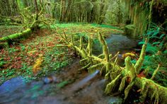 Quinault Rainforest, Olympic National Park, Washington US Forest Wallpaper, Nature Wallpaper, Olympic National Forest, River Pictures, River Trail, Park Photography, Wild Nature, Forest River, Places