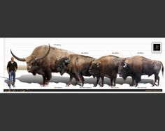 bison latifrons - Google Search
