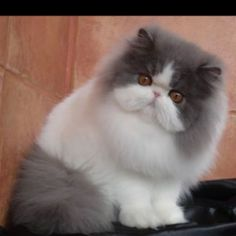 I think this is the most beautiful cat I have ever seen. #PersianCat