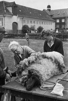 H Cartier-Bresson 1953 Copenhagen. An old lady shows visitors the old-fashioned way in which peasants in remote parts of Denmark still are shearing sheep