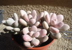 Pink Moonstone SucculentPachyveria Oviferum Roseum by CTSairplants, $3.95