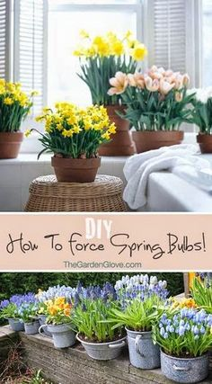 How to Force Spring Bulbs • Tips & Instructions!...